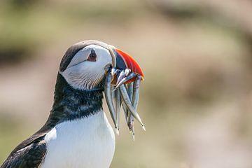 Papegaaiduiker op de Farne Islands