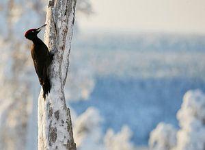 Zwarte Specht (Dryocopus martius) in Fins taiga winterlandschap