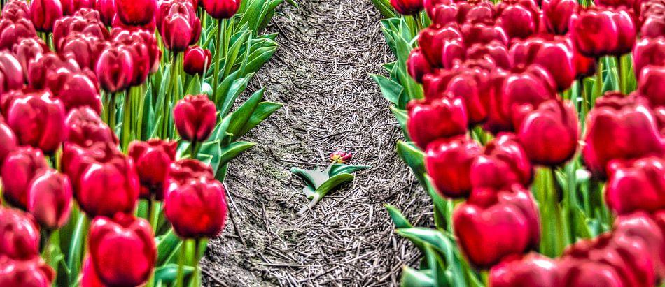 Fallen Tulip