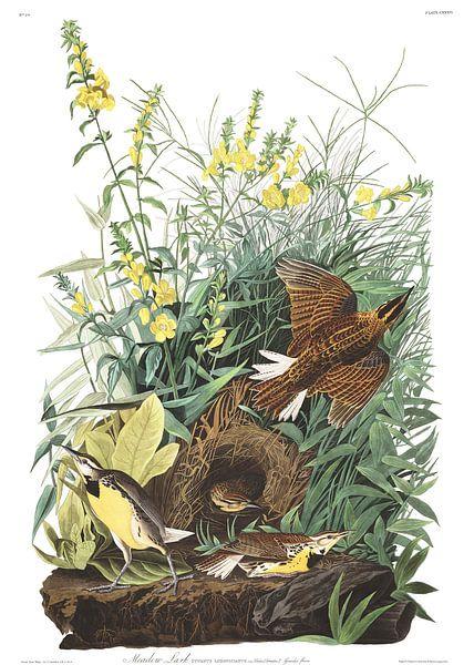 Witkaakweidespreeuw van Birds of America