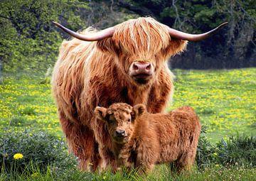 Ein schottischer Highlander mit seinem Kalb von Bert Hooijer
