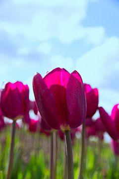 Tulpen van Kerstin Lotze