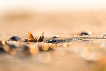 Een schelp op het strand in Zeeland van Damien Franscoise