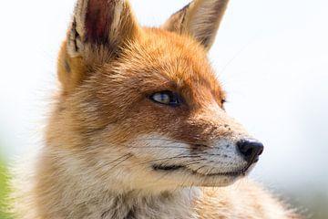 Rode vos close-up van Marcel Alsemgeest
