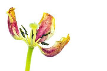 Gewachsene Tulpe mit weißem Hintergrund von Carola Schellekens
