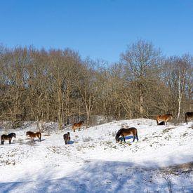 Des chevaux sauvages dans la neige sur Barbara Brolsma