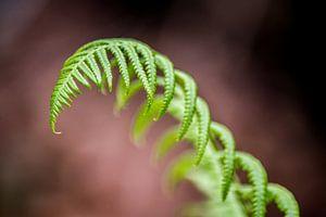 Grüner Farn