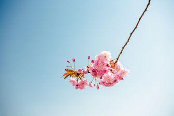 Roze Japanse kersenbloesem 2 van Pictorine