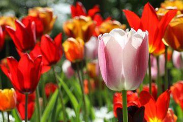 Tulpen in de Keukenhof (11) van Antwan Janssen