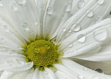 Crysanthemenblüte nach einem  Regenschauer von Dietmar Wolf