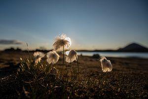 Noordpool Katoen-gras in IJsland bij ondergaande zon