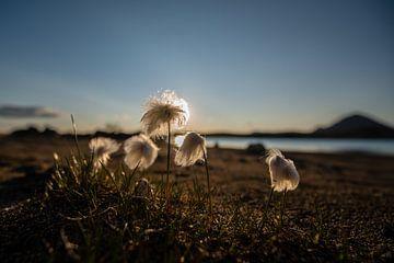 Noordpool Katoen-gras in IJsland bij ondergaande zon van
