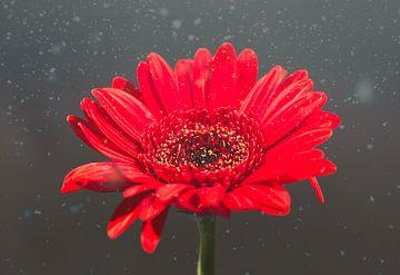 Eine rote Gerbera / Germini von Wendy Tellier - Vastenhouw