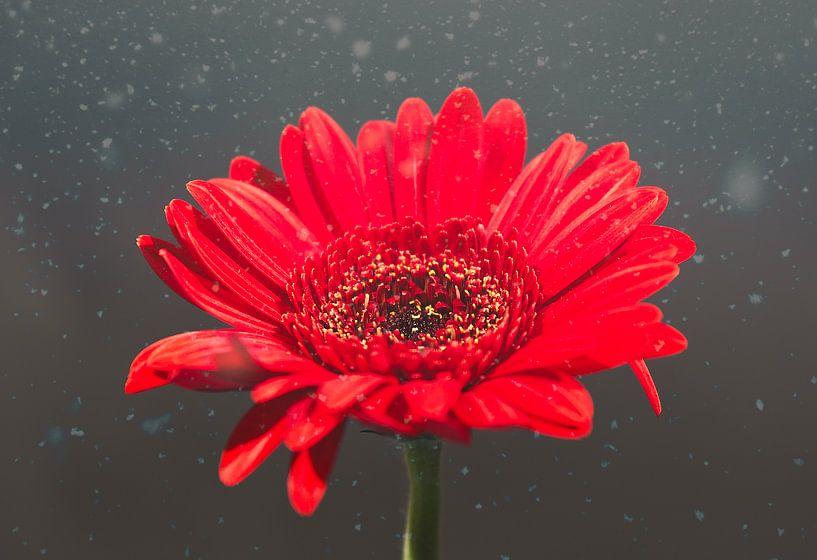 Een rode gerbera/germini van Wendy Tellier - Vastenhouw