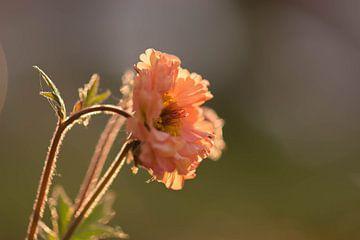 fleur de printemps orange au soleil sur Tania Perneel