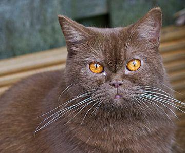 Kijk diep in mijn ogen. Britse korthaar kat van noeky1980 photography