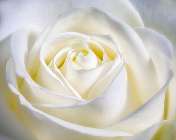 Hart in het midden van de roos. sur Nicole Jagerman