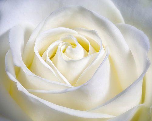 Hart in het midden van de roos. van