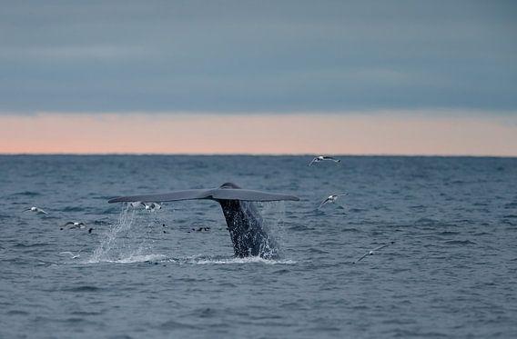 Der Schwanz des Blauwals