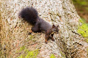 Eichhörnchen van Alena Holtz