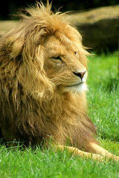 Leeuw van Kim de Groot