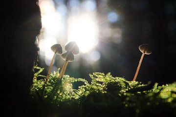 Herfst paddenstoelen in het tegenlicht van Dennis van de Water