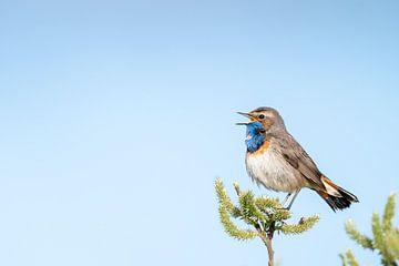 Singt auf der vollen (blauen) Brust von RobJansenphotography