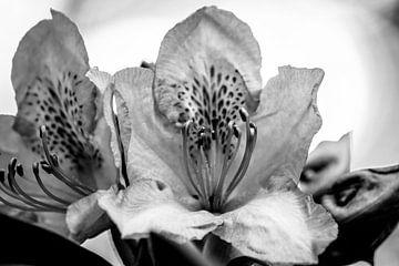 Rhododendron schwarz-weiß von Frank Ketelaar