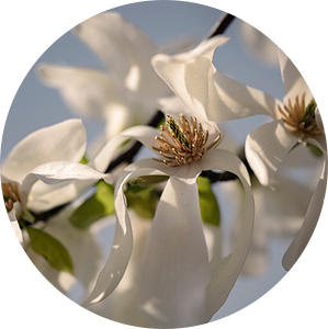 magnolia bloesem close up van tim eshuis
