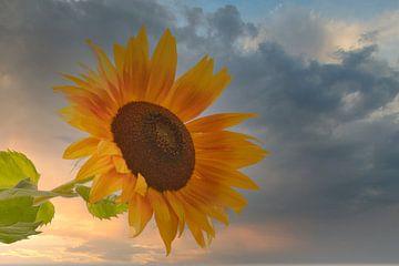 Sonnige Sonnenblume im Sonnenuntergang von J..M de Jong-Jansen
