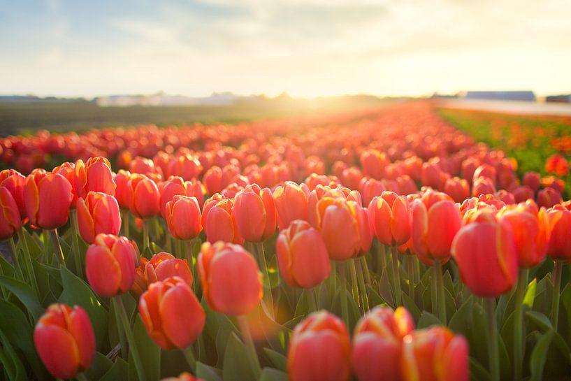 Tulpenveld in zonsondergang van Ties van Veelen