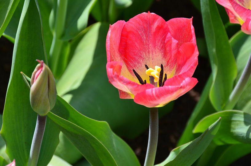 Roze Tulp van Marcel van Duinen