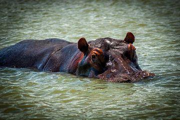 Nijlpaard in de rivier, Zuid Afrika van Rob Reedijk