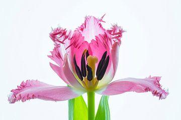 Kunstwerk Tulpenblüte von Monika Scheurer