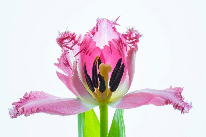 Kunstwerk Tulpenblüte van Monika Scheurer