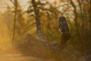 Great Grey Owl van wunderbare Erde