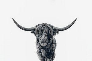 Scottish Highland cattle b&w