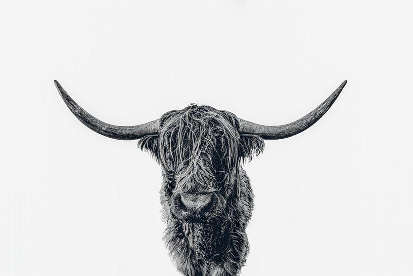 Scottish Highland cattle b&w von Monodio Photography
