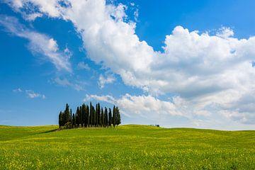 Bosje cipressen in het gras op een prachtige lentedag van iPics Photography