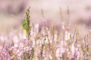 sabelsprinkhaan in de bloeiende heide