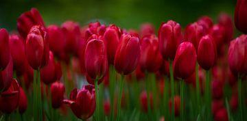 tulipes rouges au Keukenhof à Lisse. sur