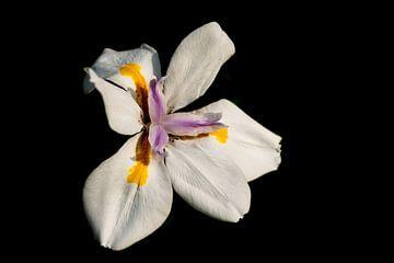 weiße Iris auf schwarzem Hintergrund von Ineke Huizing