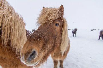 IJslandse paarden sur Wigger Tims
