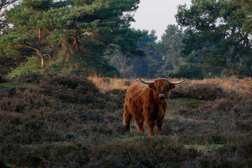 Schotse Hooglander op de heide van Jacqueline Volders