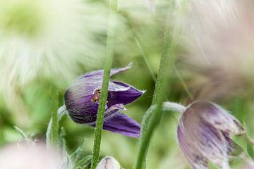 Blume IV - Kuhschelle von