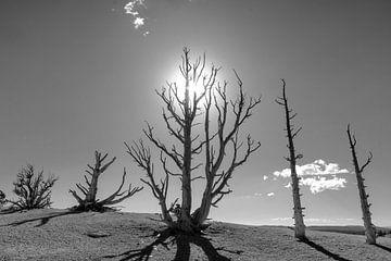 Le soleil brûlant sur les pins brûlés sur Gerben Tiemens