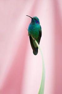 Kolibrie met roze achtergrond (Costa Rica)
