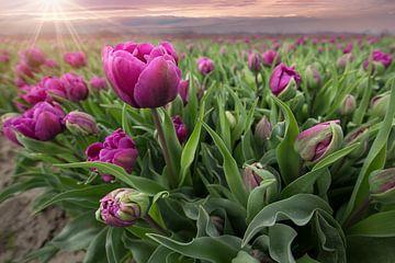 Tulpen bei Sonnenuntergang von Kristof Ven