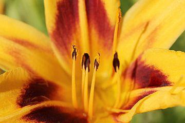 The Flower Pistil sur Cornelis (Cees) Cornelissen