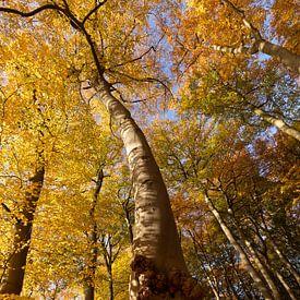 Beukenboom met goudgele hoed van Marijke van Eijkeren